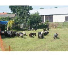 Owce z dopłatami