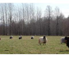 Owca wrzosówka 250złszt -przy zakupie całego stada 200szt-matki