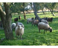 Sprzedam owce wrzosówki