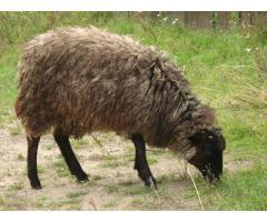 Owce wrzosówki tanio