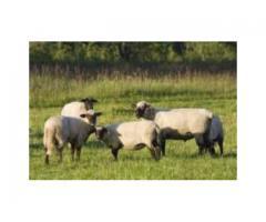 Owce czarnogłówki