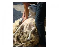 Strzyżenie owiec Lubuskie