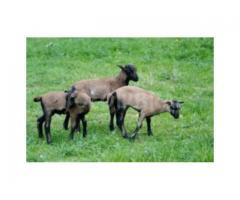 Owce kameruńskie - Opolskie