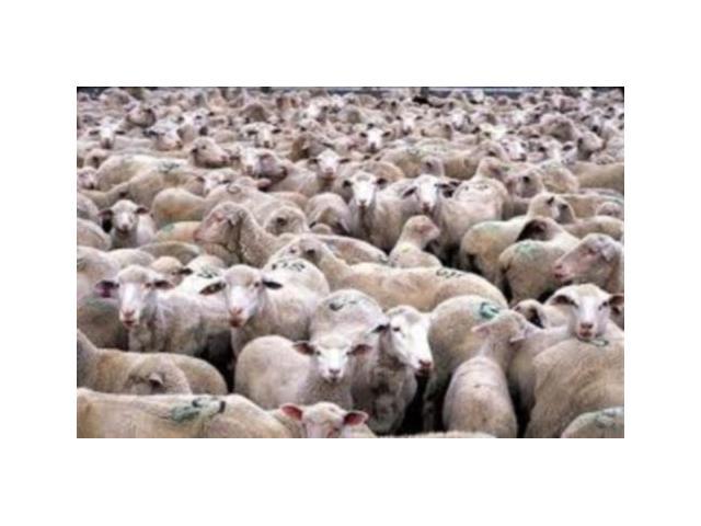 HODOWCA sprzeda owce i jagnięta