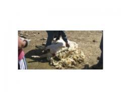 Zatrudnię osobę do strzyżenia owiec